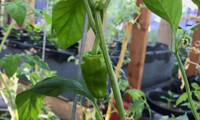 padron chile on plant closeup 2019 Buena