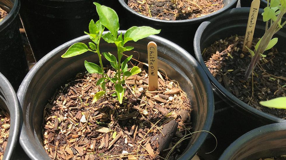 Chiltepin in 1 gallon pot