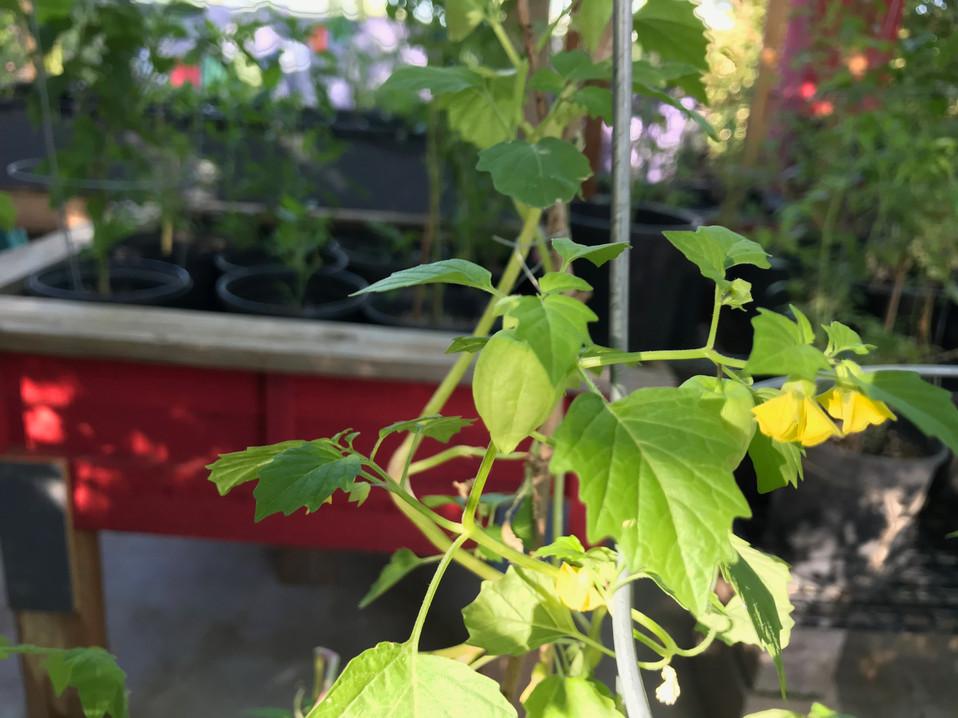 tomatillo plant in flower 2019 Buena Lun
