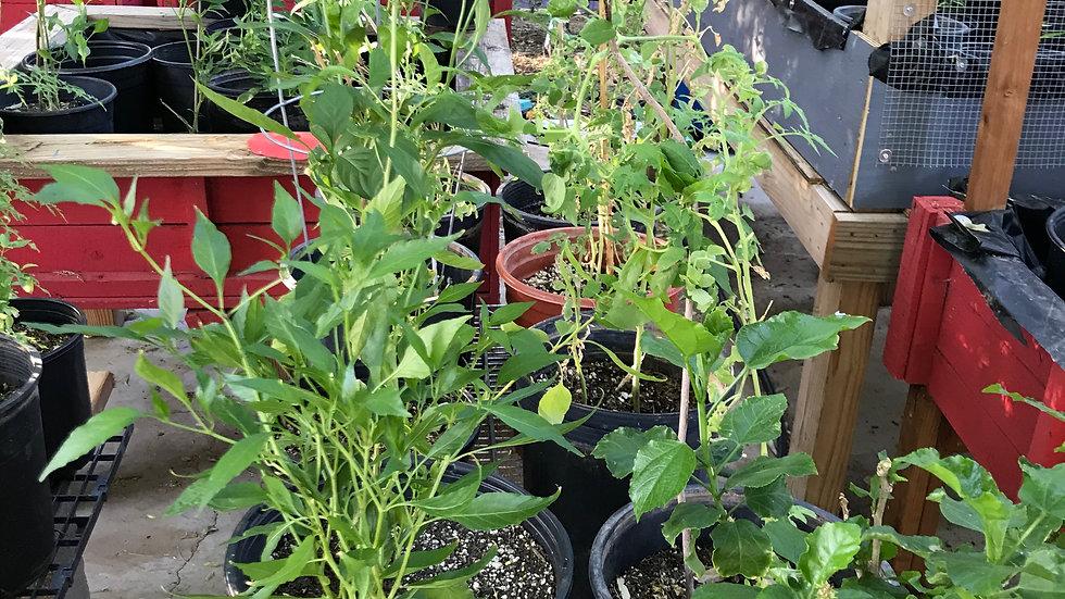 Chiltepin in 5 gallon pot - Mature Plant