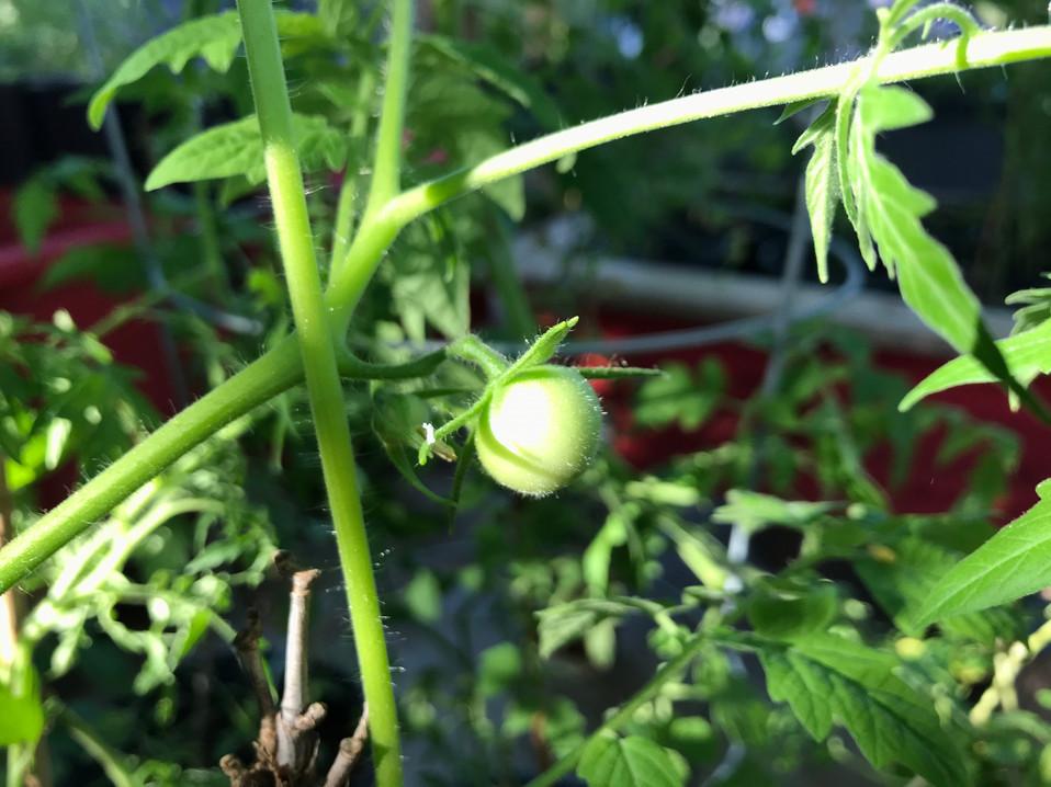 baby tomato closeup 2019 Buena Luna.jpeg