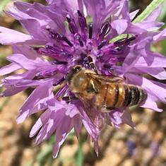 Chapel Valley Honeybee