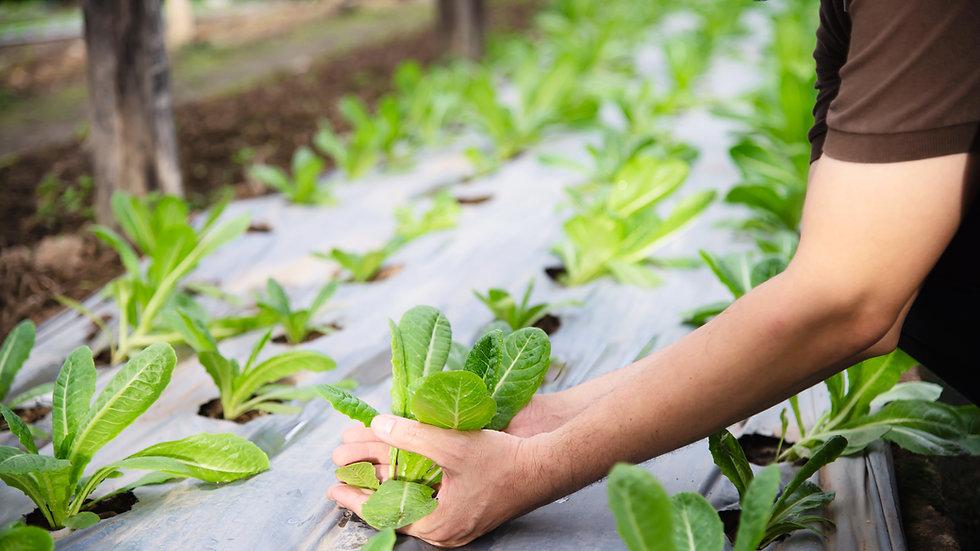 Paillage à salade   Largeur 1m50 vendu par 10 mètres