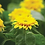 Thumbnail: Dwarf Sungold Sunflower - Seed Packet