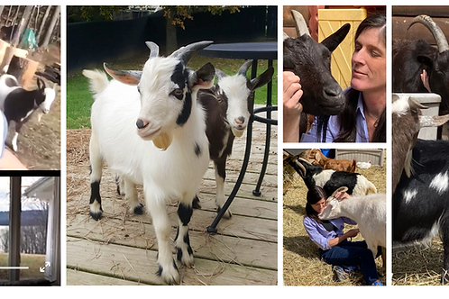 VIRTUAL Remote Rescue Goats! (For One)