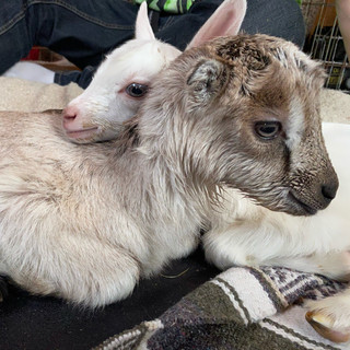 Baby goat snuggles