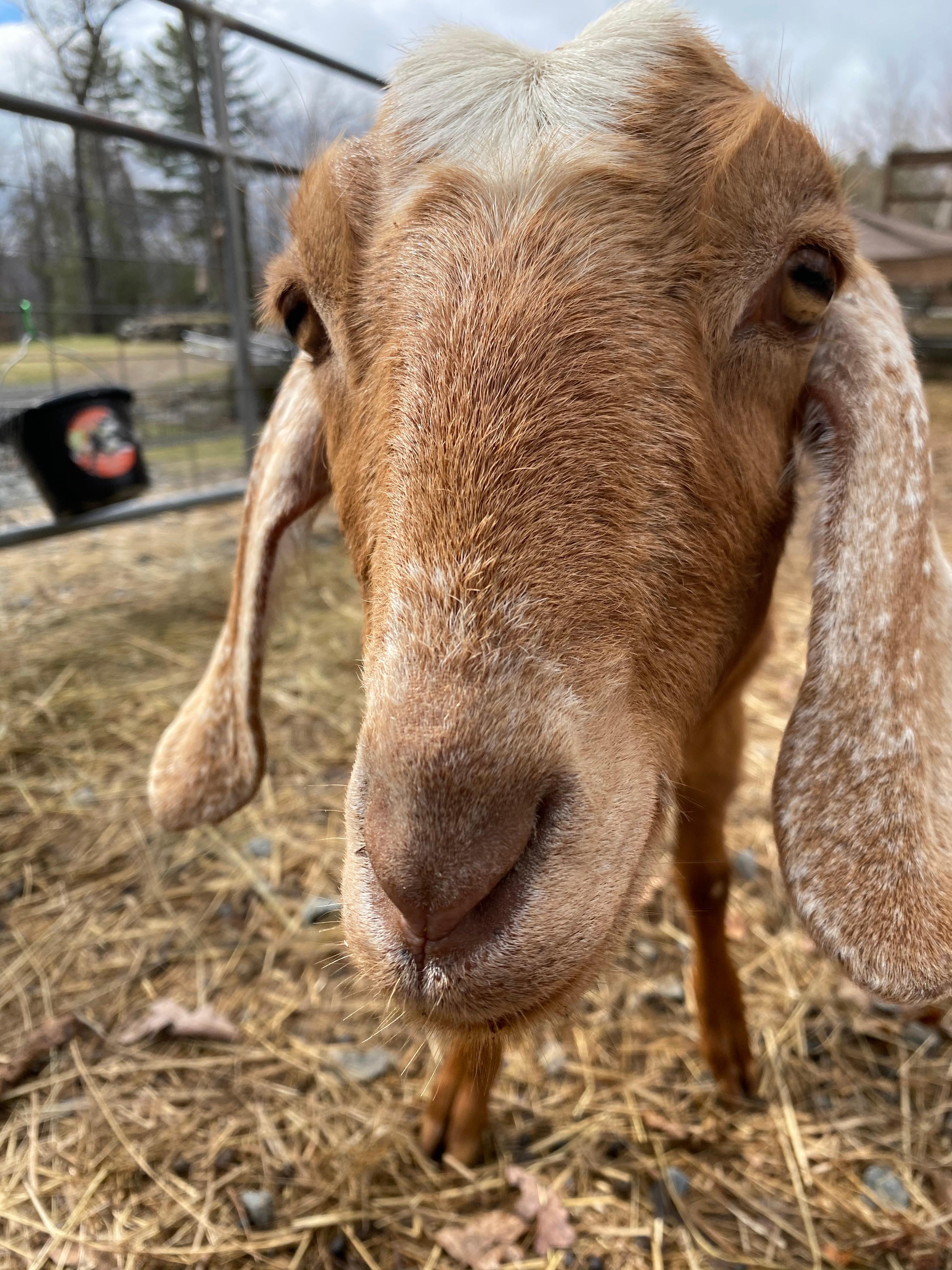 Remote Rescue Goats