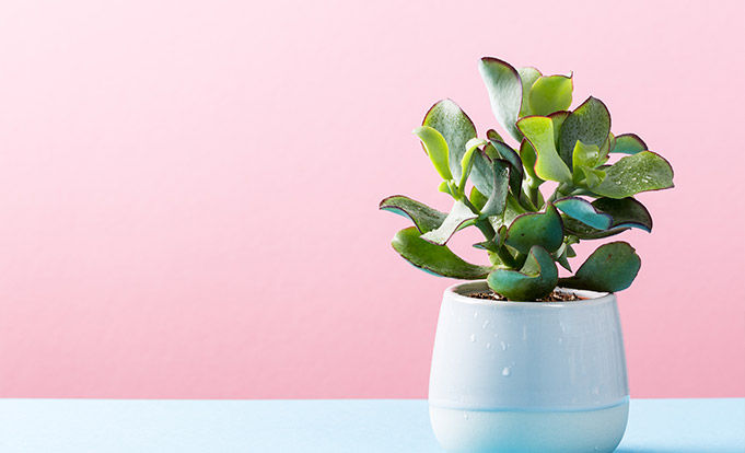Plants on a table with a pink background