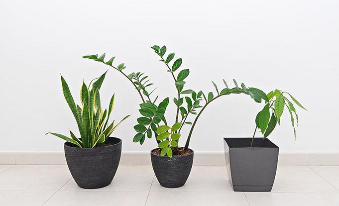 3 green plants on a tiled floor.