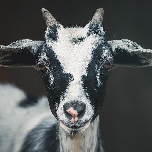 Rohingya Goat Aqiqah (Girl)