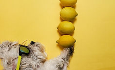 Dog Balancing lemons on its paw