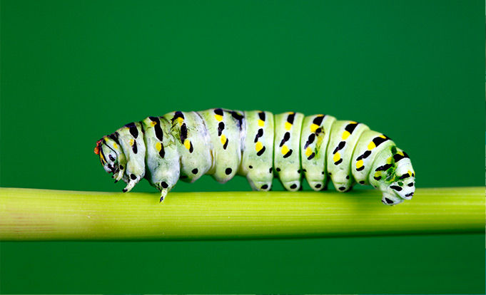 White caterpillar on green stem