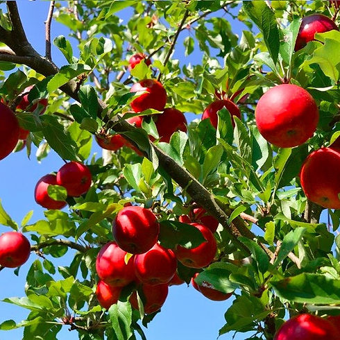 apples_in_tree_edited.jpg