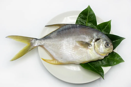Cá khế (700 gram) - Hiệp hội ngư dân quận Vĩnh An