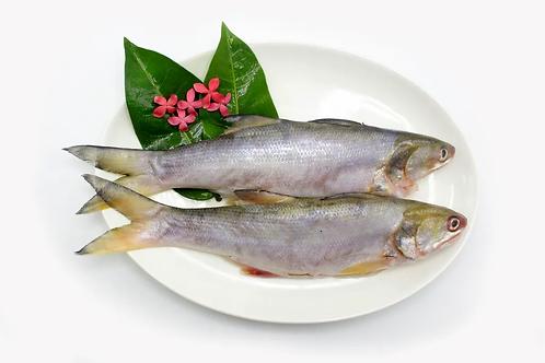 Cá nhụ bốn râu (600 gram) - Hiệp hội ngư dân quận Vĩnh An