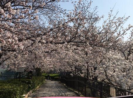 ELS21 日本の桜は世界を魅了する🌸