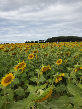 Sunflowers as far as the eye can see.  So pretty.