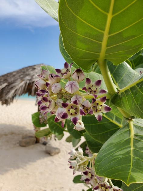 Exotic flower in Aruba