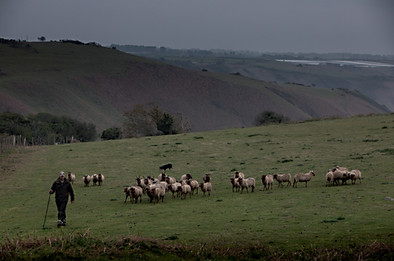 Shepherd on Jerseys north coast