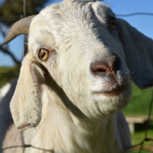Gary the Goat at Echo Farm Mount Gambier