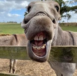 laughing donkey at Echo Farm Mount Gambi
