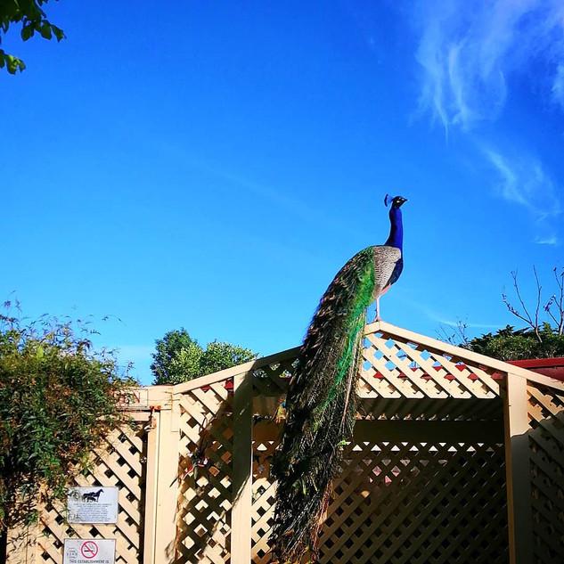 Peacock at Echo Farm Mount Gambier.jpg
