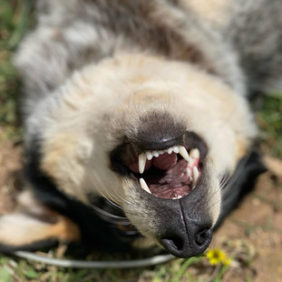 Funny face of Carl the dog at Echo Farm