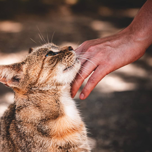 Cat being patted at Echo Farm Mount Gamb