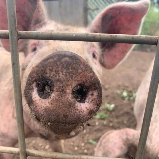 Piglet at Echo Farm Mount Gambier.jpg