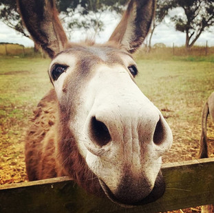 Wonkey Donkey at Echo Farm Mount Gambier