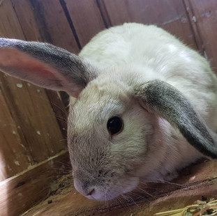 Rabbit at Echo Farm Mount Gambier.jpg