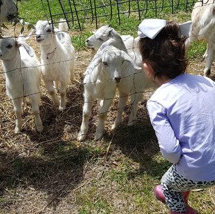 little girl getting close to goat kids a