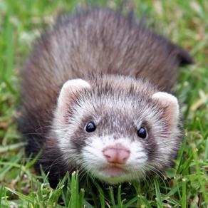 você sabe quem são os ferrets?