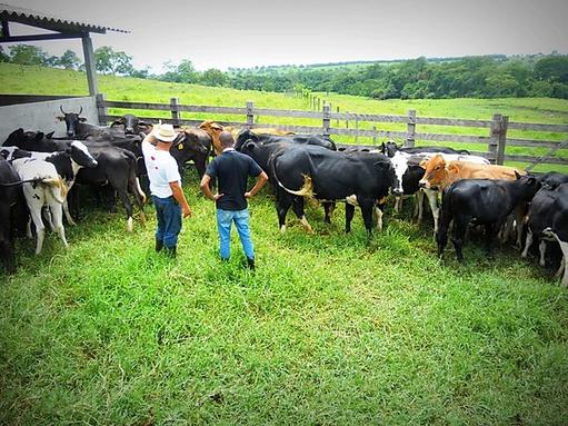 Vaca - Maravilhas.webp