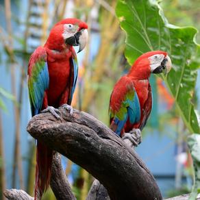 Regulamento para criação de aves exóticas
