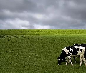 Doenças Metabólicas em Vacas Leiteiras: Saiba os Principais Fatores de Risco