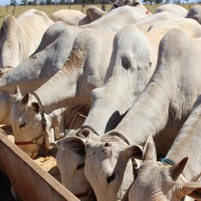 o uso de sal mineral para bovinos