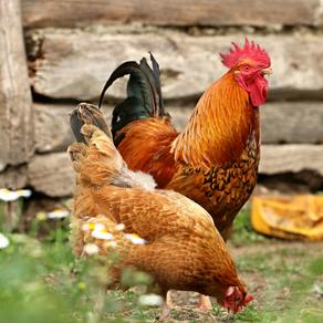 A importância do enriquecimento ambiental para frangos de corte