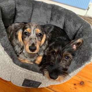 dachshund puppy care walks