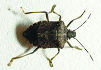 Measures to manage the risk of the brown marmorated stink bug (BMSB)