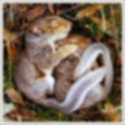 Cute-sleeping-squirrels.jpg