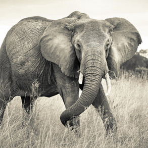 xxl4-529_elephant_ma.jpg