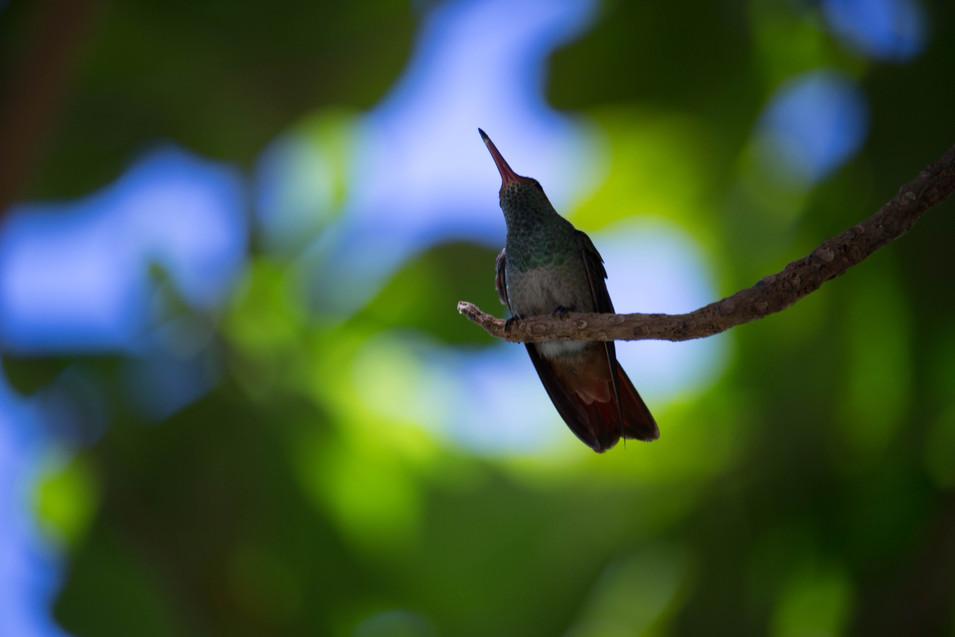 Hummingbird into the Blur