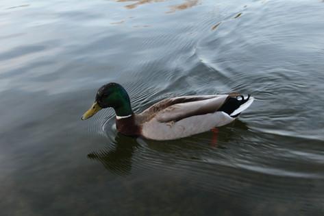 Bostonian Duck