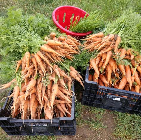 Early Carrots