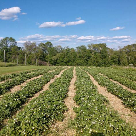 Endless Rows of Strawberries