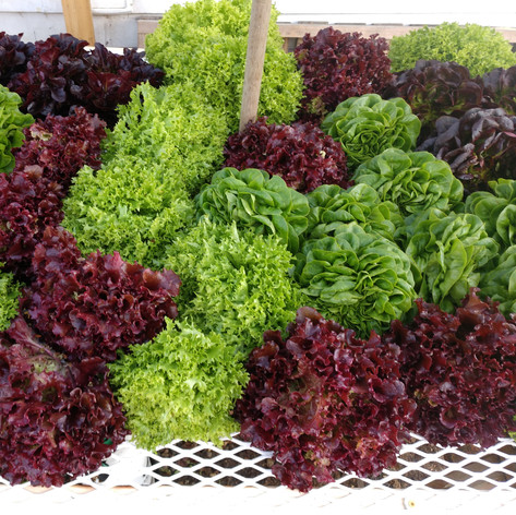 A Mound of Lettuce Heads