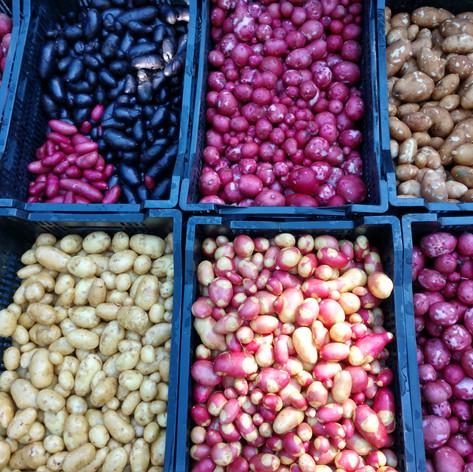 The Last Potato Harvest of the Season