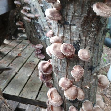 Logs of Shiitake Mushrooms
