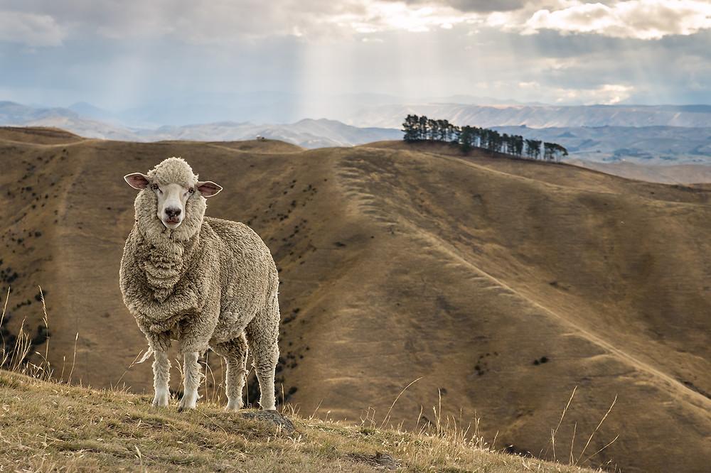 Owca Merynos na polu. Zachód słońca w Nowej Zelandii